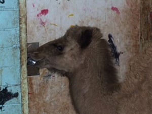 Camels in Australia: Feral camel in McDonnell Shire