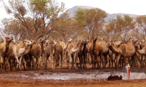 Feral camels gather at a water source near Docker River in Australia