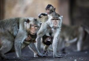monkey bufett in Thailand: Long-tailed macaque monkeys at  Monkey Buffet Festival