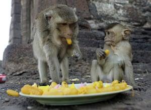 monkey bufett in Thailand: Long Tail macaque monkeys taste sweets at Wat Phra Prang Sam Yod