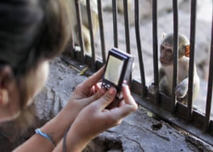 monkey bufett in Thailand: A baby Long Tailed Macaque is photographed at the Lopburi, Thailand