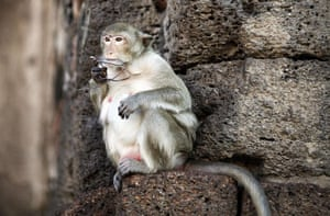 monkey bufett in Thailand: A long-tailed macaque monkey holds glasses stolen from a tourist