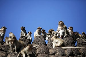 monkey bufett in Thailand: Long-tailed macaque monkeys at the Pra Prang Sam Yot temple in Thailand
