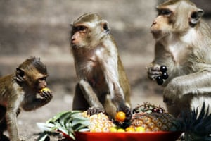 monkey bufett in Thailand: Long-tailed macaque monkeys are offered food during Monkey Buffet Festival