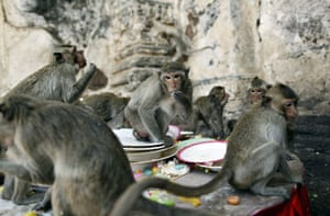 monkey bufett in Thailand: Monkeys are offered food during the Monkey Buffet Festival in Thailand