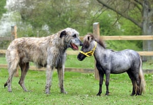Miniature animals: A 21 inch high Falabella mare and the smallest horse in Britain