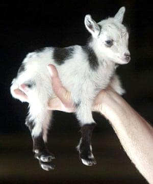 Miniature animals: African Pygmy Goat