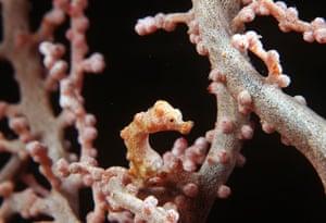 Miniature animals: Pygmy seahorse