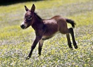 Miniature animals: Muffin The Mini Mule, A Cross Between A Miniature Donkey and Shetland Pony