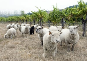 Miniature animals: A flock of Babydoll sheep graze at the Navarro Vineyards California