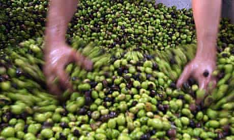 A Palestinian farmer examines olives in the West Bank