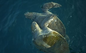 Week in wildlife: A pair of Olive Ridley Turtle mate before nesting, in the Bay of Bengal.