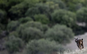 Week in wildlife: A lynx is released during the first experimental reintroduction in Spain