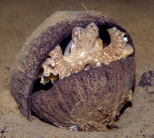 Week in wildlife: Veined Octopus, Amphioctopus marginatus, using coconut shells for shelter