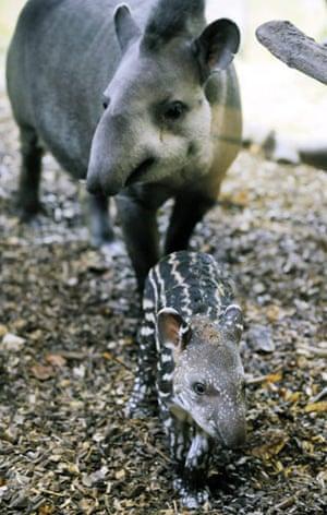 Week in wildlife: A young Lowland Tapir