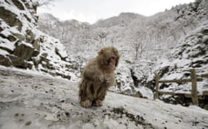 Week in wildlife: A Japanese Macaque sits in the snow , Yamanouchi town