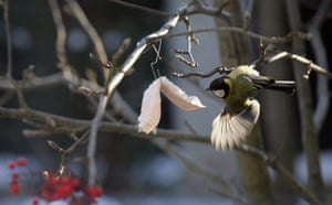 Week in wildlife: Tit are fed with lard placed in trees, Moscow, Russia