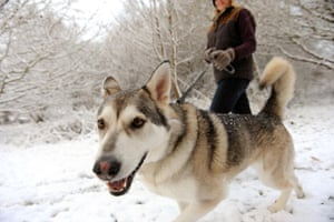 Snow in the UK: Susannah MacKay walks her dog Miska through snow on Epsom Common