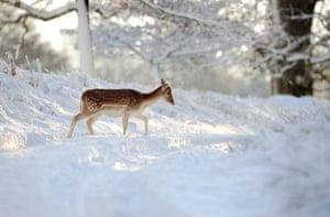 Snow in the UK: A deer walks through the snow in Knole park, Sevenoaks, Kent