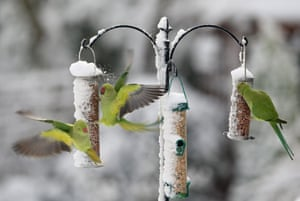 Snow in the UK: Parakeets feed on snow-covered bird feeders in Carshalton Beeches