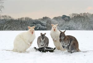 Snow in the UK: Used to warmer climates, a group of wallabies pose in the snow