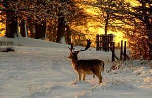 Snow in the UK: A deer in Knole Park, Sevenoaks, Kent