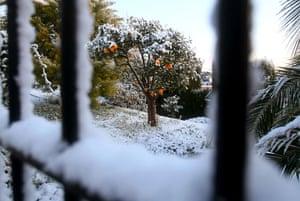 Snow around the world: Nice, France: A mandarin orange tree covered with snow