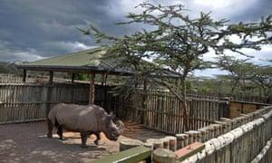 white rhino kenya