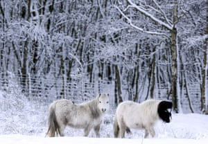 Snow: UK: A pair of Shetland ponies in the snow at Annfield Plain, County Durham
