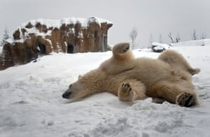 Snow: Netherlands: A polar bear enjoys the snow in Blijdorp Zoo in Rotterdam