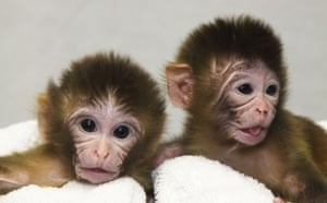 Science 2009: Macaque twins in corrals