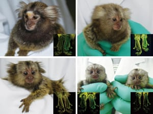 Science 2009: Glow in the dark marmosets