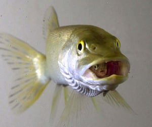 Pictures of the Decade: 22 January 2001: A rainbow trout fingerling swallowed by a northern pike
