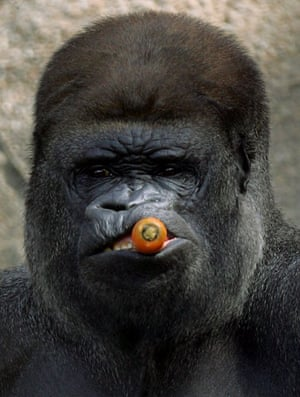 Pictures of the Decade: 13 January 2005: Kibabu, a 240kg male western lowland gorilla