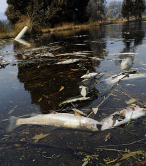 Australia fire aftermaths: Dead fishes float in the Marysville Trout Farm