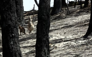 Australia fire aftermaths: Kangaroos are amongst a charred landscape in the aftermath of a bushfire