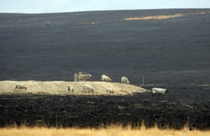 Australia fire aftermaths: Sheep struggle to find fodder in a burnt-out paddock after a bushfire