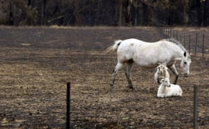Australia fire aftermaths: A white horse and two goats are seen in a field burnt out by bushfire
