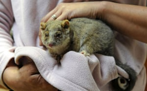 Australia fire aftermaths: A ring-tailed possum saved from the bushfires in Gippsland