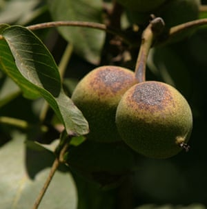 Severe drought : Severe drought : walnuts unprotected from the sun are burned, California
