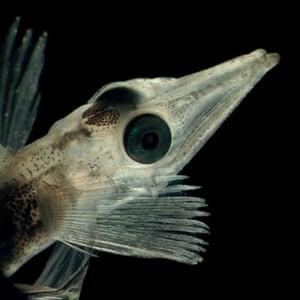 Arctic creatures: Chionodraco hamatus one of the Antartic's ice fish