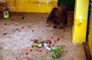 Lawrence Anthony: A starving bear waits for a meal at the Baghdad Zoo