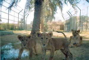 Lawrence Anthony: Lions at Baghdad Zoo