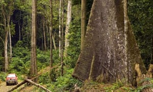 Forest in Gabon. The girth of tropical trees is increasing.