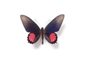 Rothschild butterflies : Parides orellana butterfly