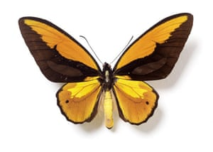 Rothschild butterflies : Ornithoptera priamus hecuba