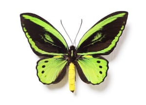 Rothschild butterflies : Ornithoptera  croesus lydius butterfly