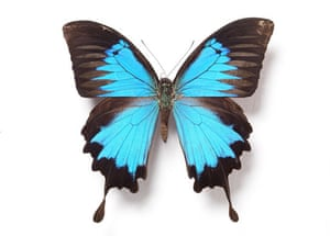 Rothschild butterflies : Papilio ulysses butterfly