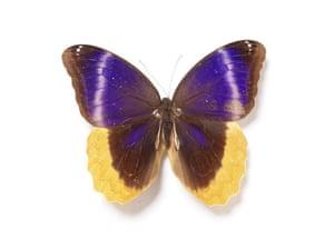 Rothschild butterflies : Caligo  uranus butterfly