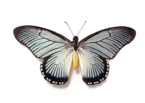 Rothschild butterflies : Papilio zalmoxis  butterfly